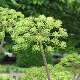 "Angelica archangelica ""Angélique officinale"" Graines"