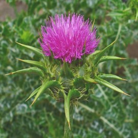 Silybum marianum (Milk thistle) Seeds