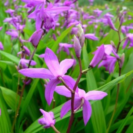 Bletilla striata (Chinese ground orchid) Bulbs