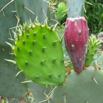 Opuntia humifusa (Eastern Prickly Pear, Indian Fig) Seeds
