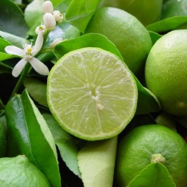 Citrus latifolia Plants