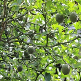 Poncirus trifoliata (Trifoliate Orange) Plants