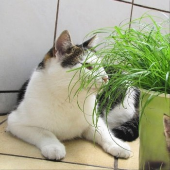 Cat Grass (Cyperus zumula) Plants