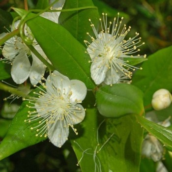 Common myrtle (Myrtus communis) Plants