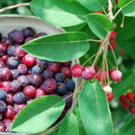 Amelanchier canadensis (Juneberry, Canadian serviceberry) Seeds