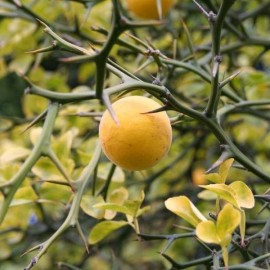 Poncirus trifoliata monstrosa 'Flying Dragon' Plants
