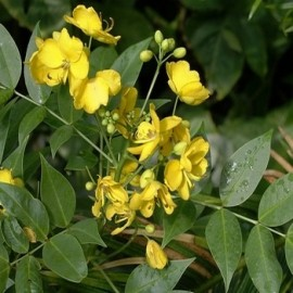"Senna occidentalis ""Café-Nègre"" Graines"