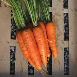 Carrot 'Colmar à Coeur Rouge 2' (Hardy and productive variety) Seeds