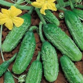 Cornichon 'Vert Petit de Paris' (Traditional French pickling cucumber) Seeds