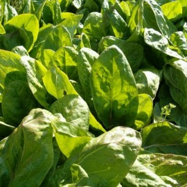 Sorrel 'Large de Belleville' (traditional variety) Seeds