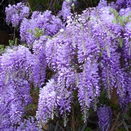 Wisteria sinensis 'Blue' Seeds