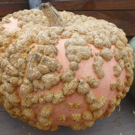 Galeux d'Eysines Squash (Heirloom Variety) Seeds