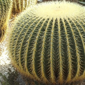 Echinocactus grusonii (Golden Barrel Cactus) Seeds