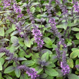 African Blue Basil Plants
