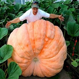Potiron 'Atlantic Giant' (World Record) Seeds