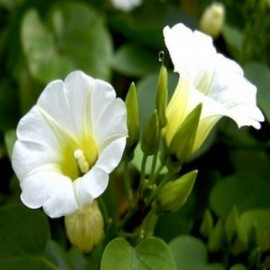 Rivea corymbosa ''Turbina / Morning Glory'' Graines