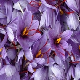 Crocus sativus ''Crocus Safran'' 25 Bulbes
