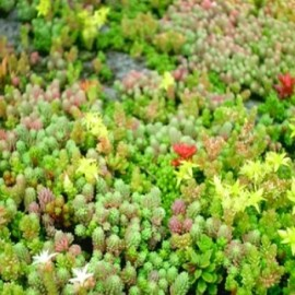 Sedum (Mix 25) Seeds