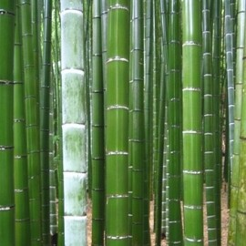 "Phyllostachys pubescens ""Bambou Moso"" Graines"