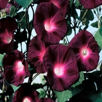 Ipomoea purpurea 'Kniola's Black' Seeds