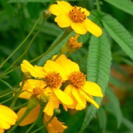 Tagetes lemonii Plants