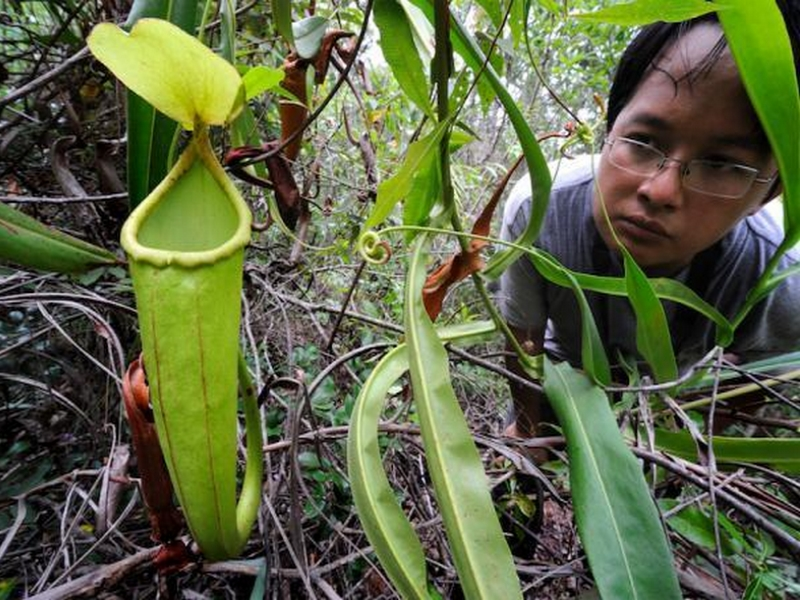 Nepenthes holdenii 2