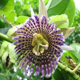 "Passiflora ligularis ""Grenadille sucrée"" Graines"