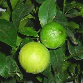 Citrus bergamia (Bergamot Orange) Plants