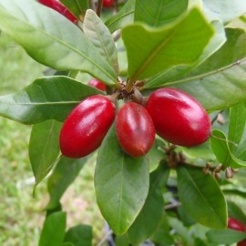 Synsepalum dulcificum (Miracle Fruit, Miraculous Berry) Plants