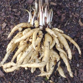 Sium sisarum (Skirret, Crummock) Seeds