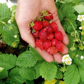 Strawberry Alexandria (Fragaria vesca 'Alexandria') Seeds