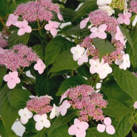 Hydrangea serrata 'Oamacha' (Sweet leaves) Plants