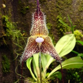 Dracula chimaera (Monkey Face Orchid) 1 Plants