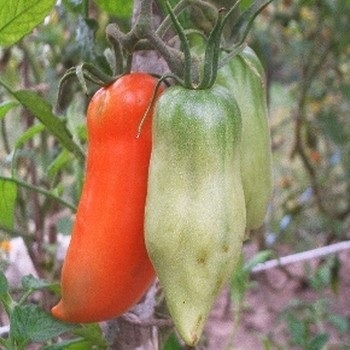 Tomate 'Andines Cornues' Graines