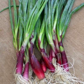 Allium fistulosum 'Red Welsh' (Cive rouge, Oignon welsh) Graines