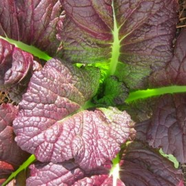 Moutarde de Chine (Brassica juncea 'Red Giant') Graines