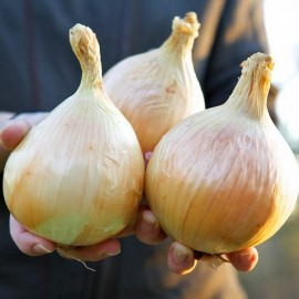 Onion 'Ailsa Craig' (World Record) Seeds