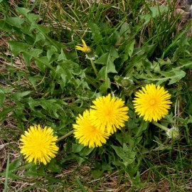 Dandelion (Taraxacum officinale) Seeds