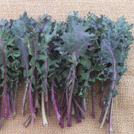 Chou Kale Frisé 'Red Russian' Graines