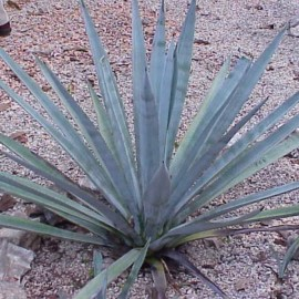 Agave tequilana (Agave Bleu) Plant