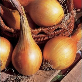 Onion 'Jaune de Mulhouse' Seeds