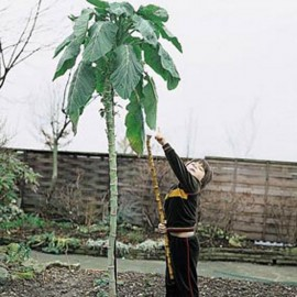 Giant Jersey Kale (Walking stick cabbage) Seeds