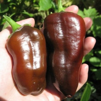 Sweet Chocolate Pepper Seeds