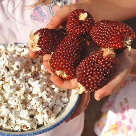 Red Strawberry Popcorn Seeds
