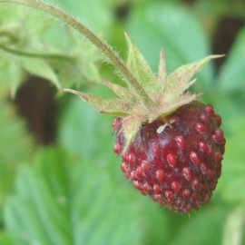Musk Strawberry (Fragaria moschata) Seeds