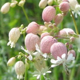 Silene vulgaris Seeds
