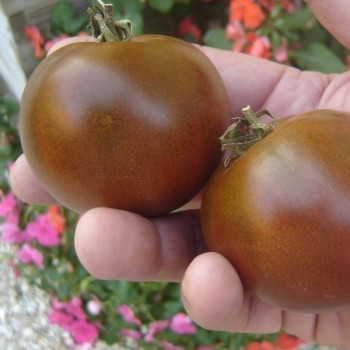 Black Russia Tomato Seeds