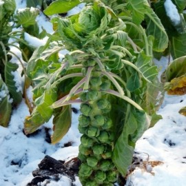 Brussels sprout 'Groninger' Seeds