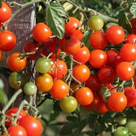 Mexican honey tomato Seeds