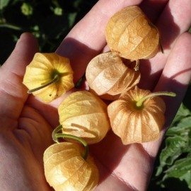 Physalis peruviana Seeds
